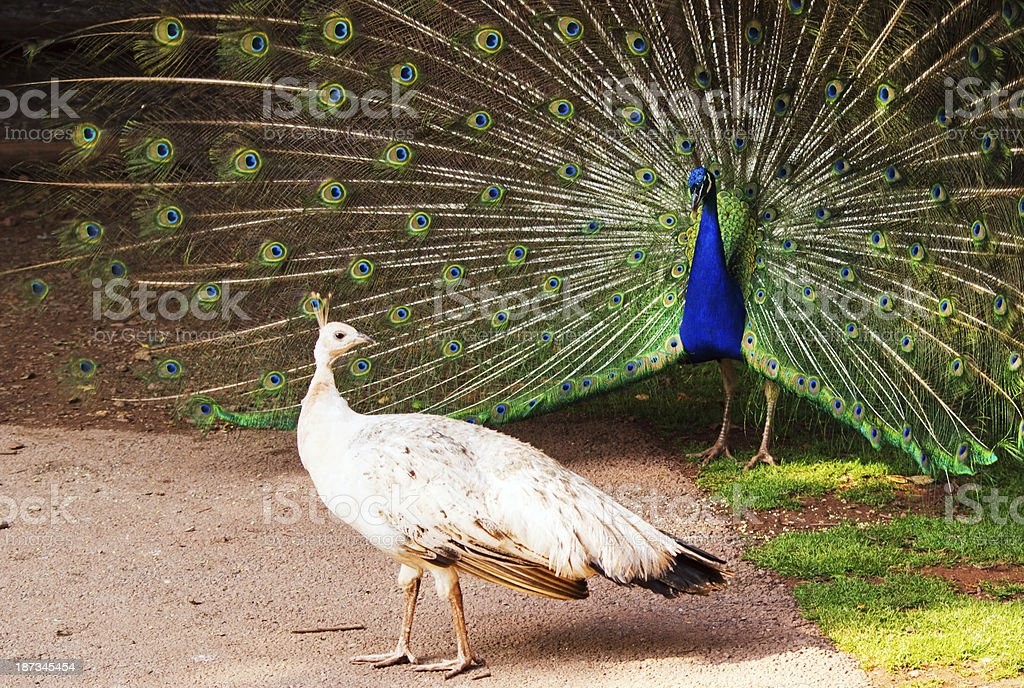 Peacock Displaying to peahen stock photo