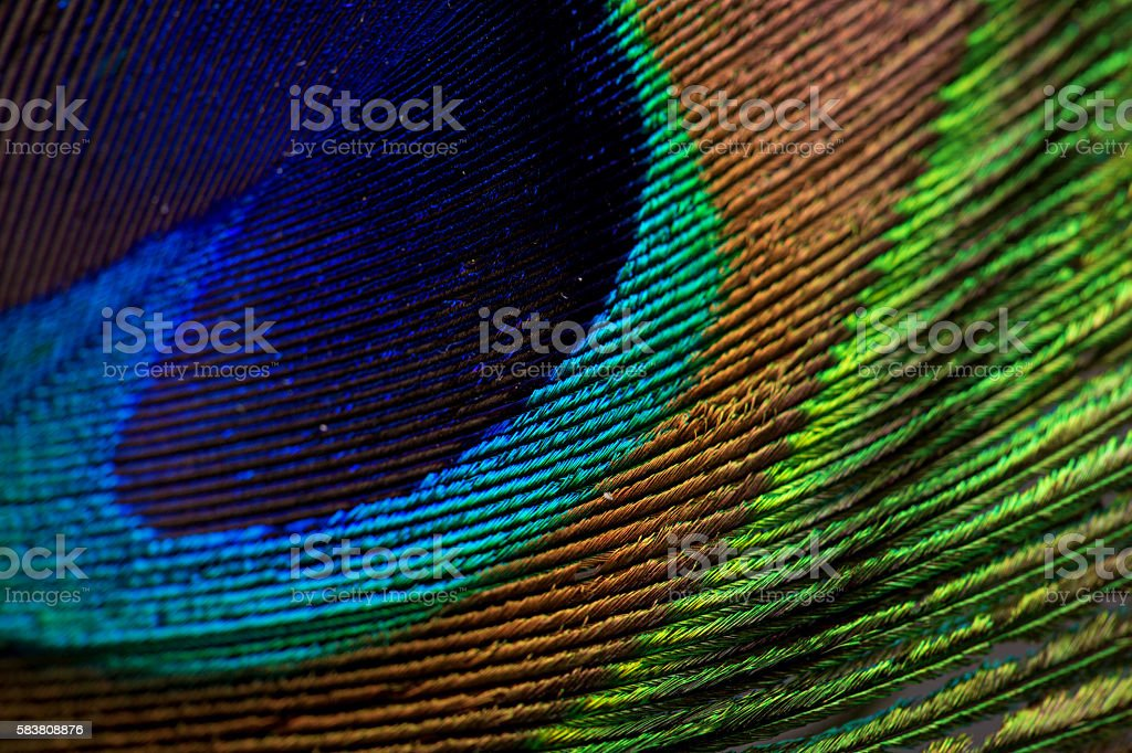 Peacock Feather closeup Macro stock photo
