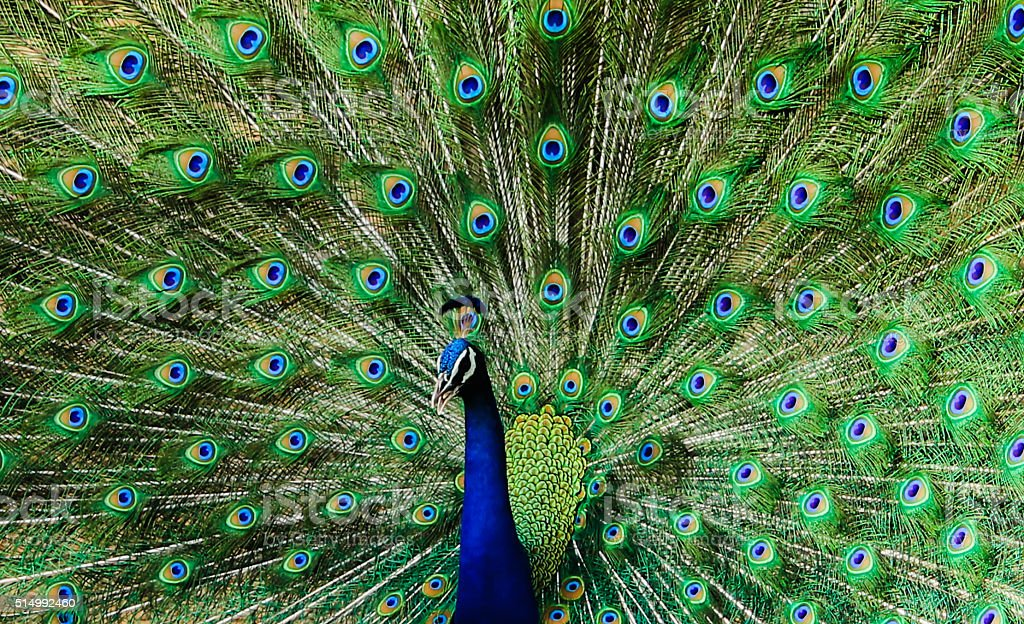 Peacock feather dance stock photo