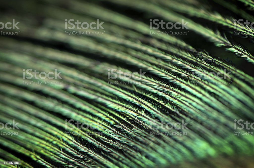 Peacock Feather Extreme Close Up royalty-free stock photo