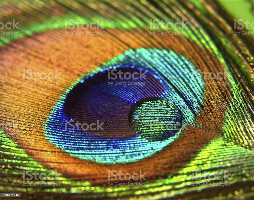 Peacock Feather Macro royalty-free stock photo