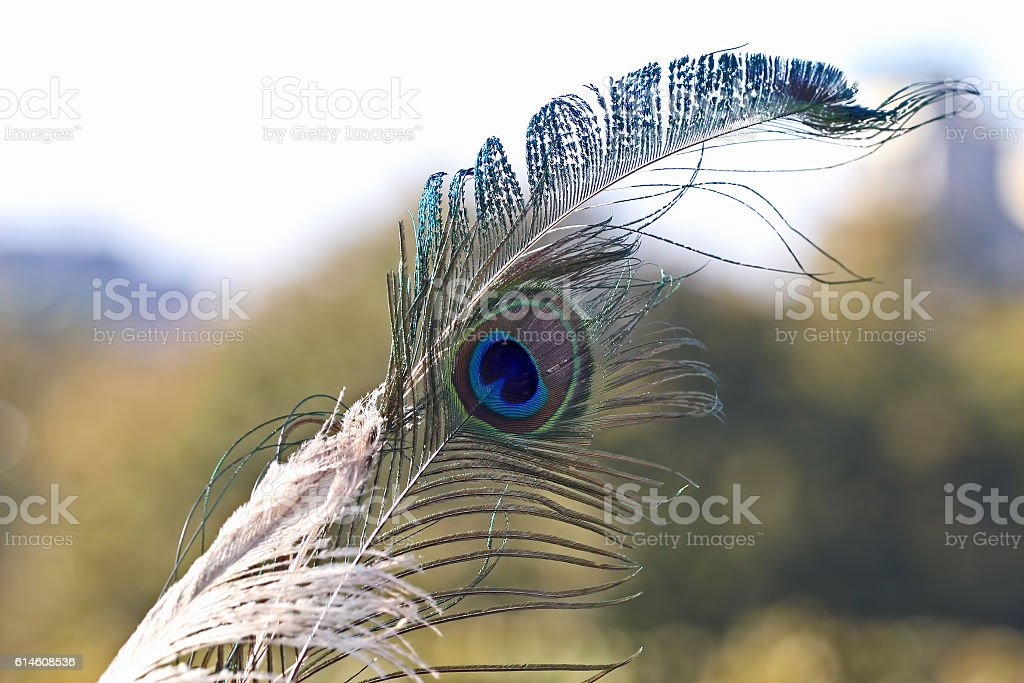 peacock feather on soft background stock photo