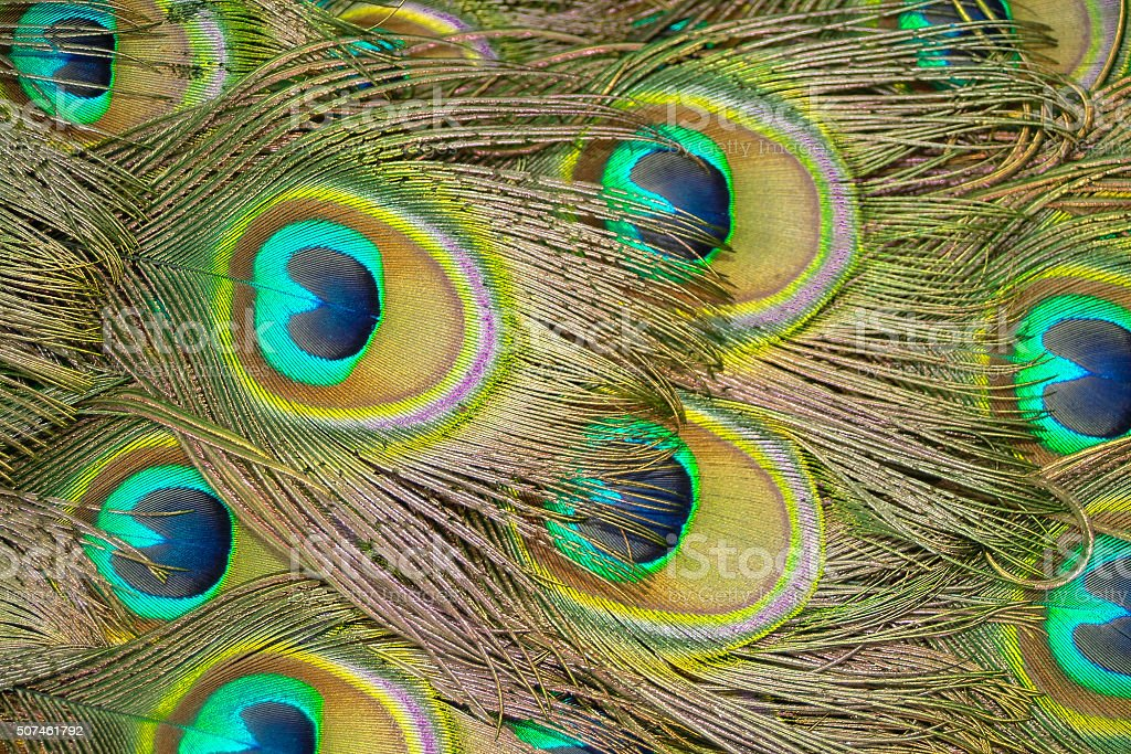 Peacock feathers in close up royalty-free stock photo