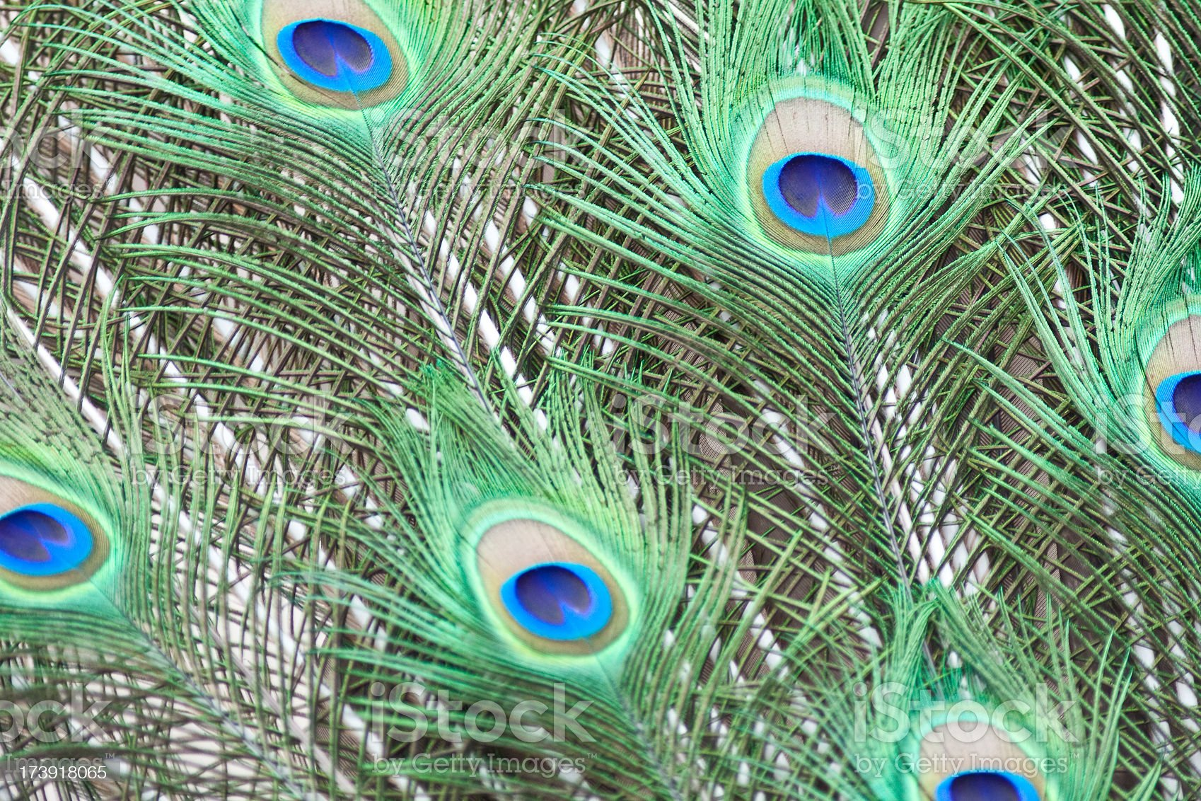 Peacock Feathers royalty-free stock photo