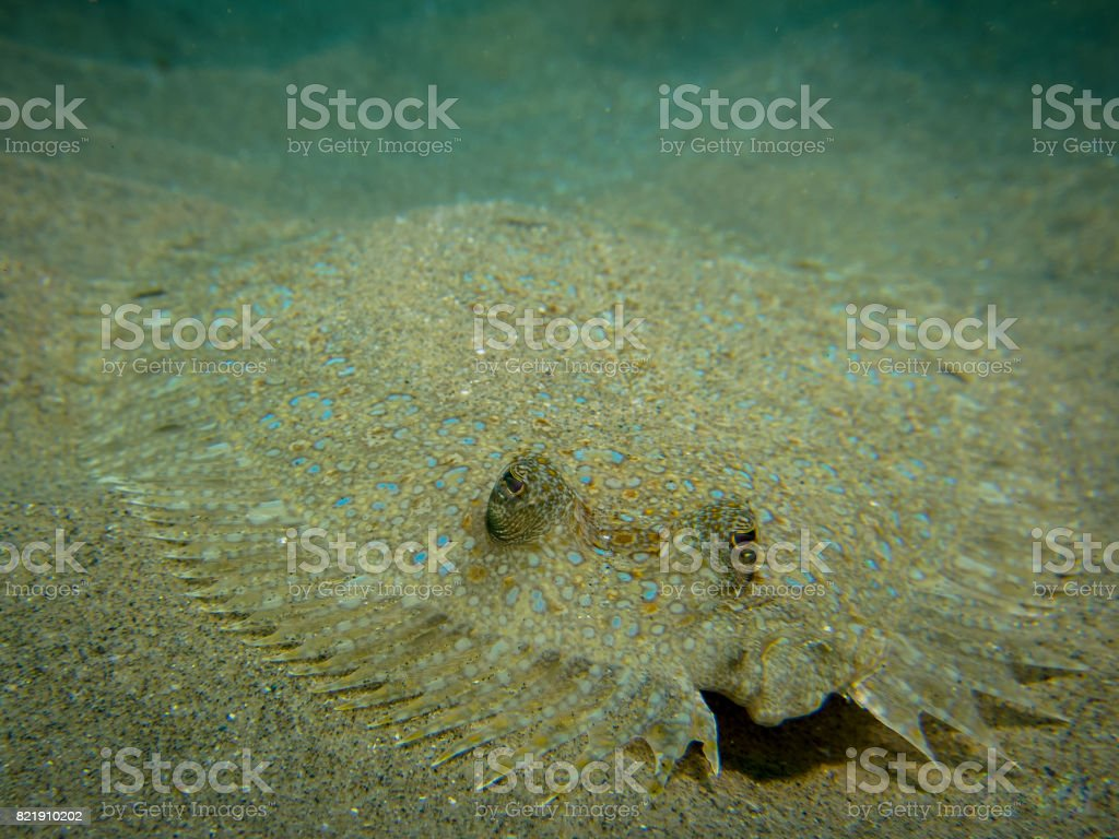 Peacock flounder fish on the sand stock photo
