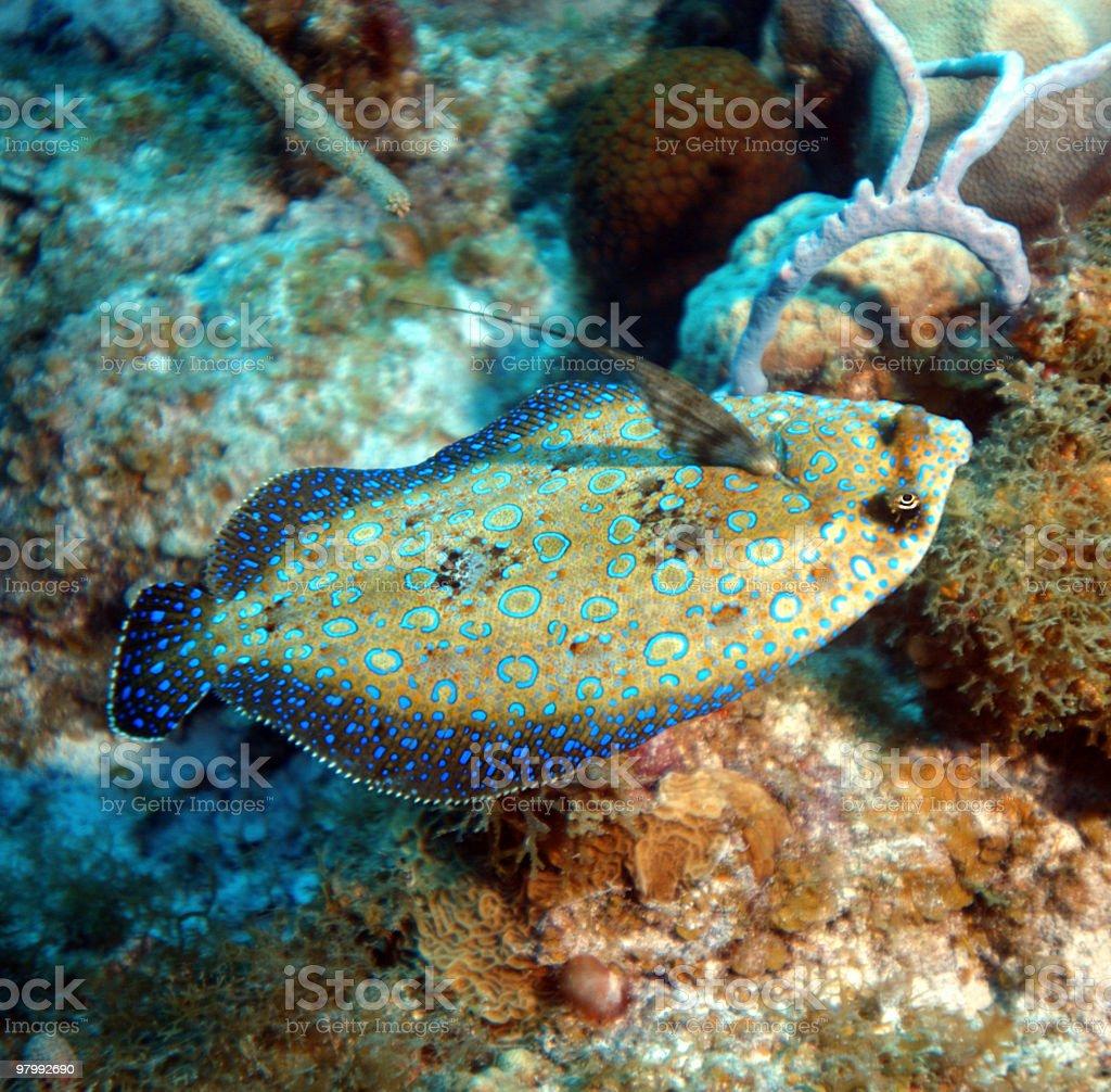 Peacock Flounder Free swimming stock photo