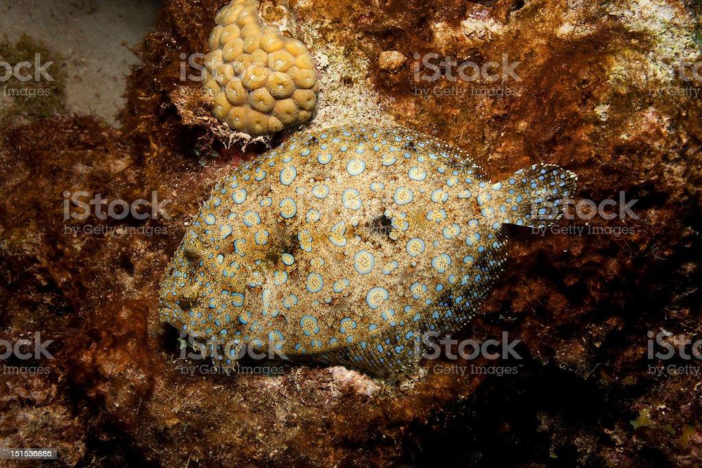 peacock flounder stock photo