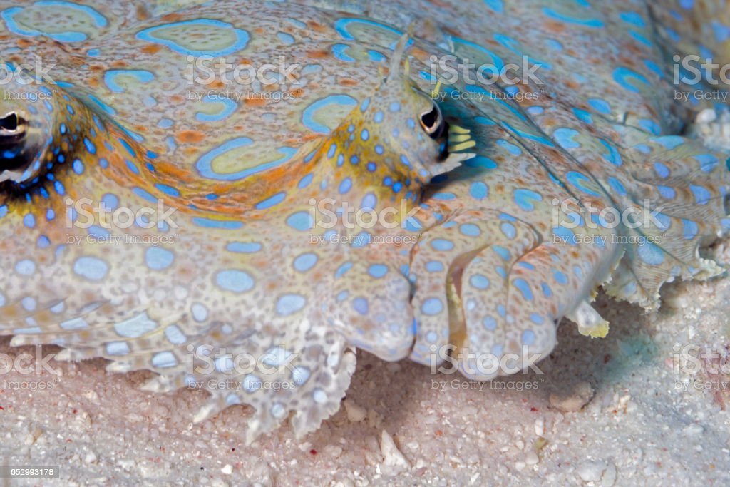 peacock flounder,Bothus mancus stock photo