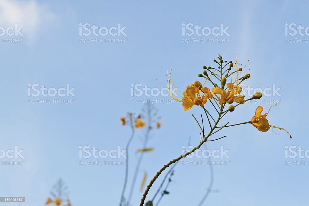 Peacock flowers royalty-free stock photo