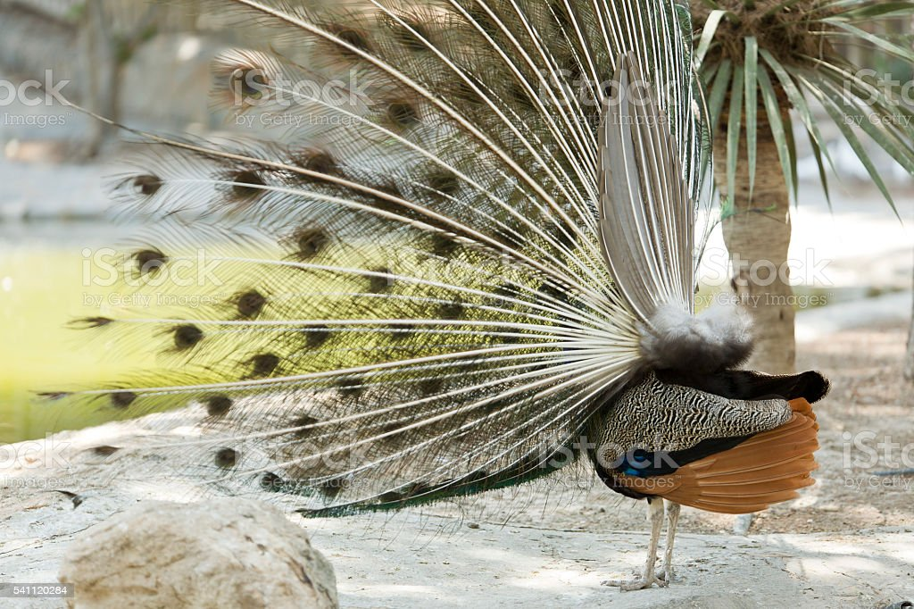 Peacock in a park stock photo