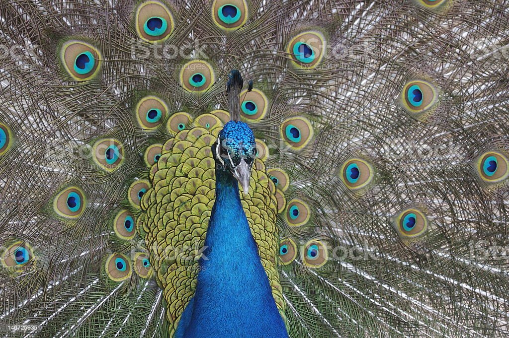 Peacock In Bloom royalty-free stock photo