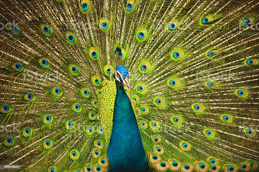 Peacock in flair stock photo