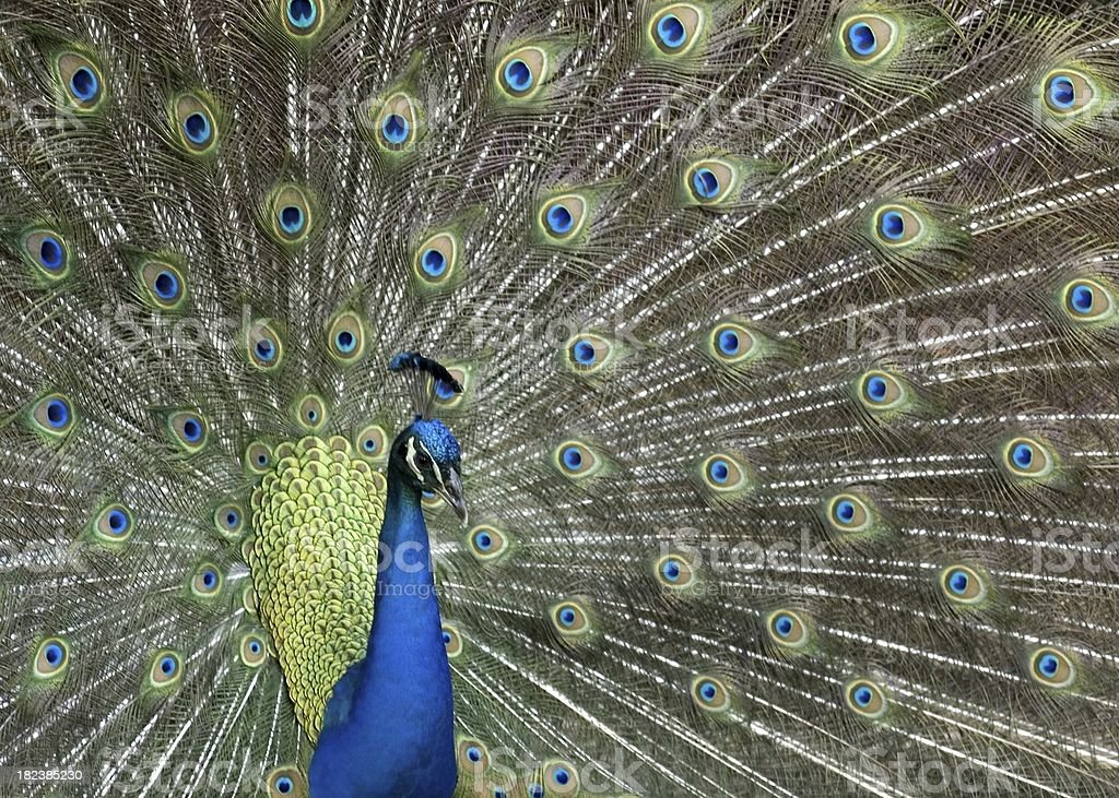 Peacock in full bloom royalty-free stock photo