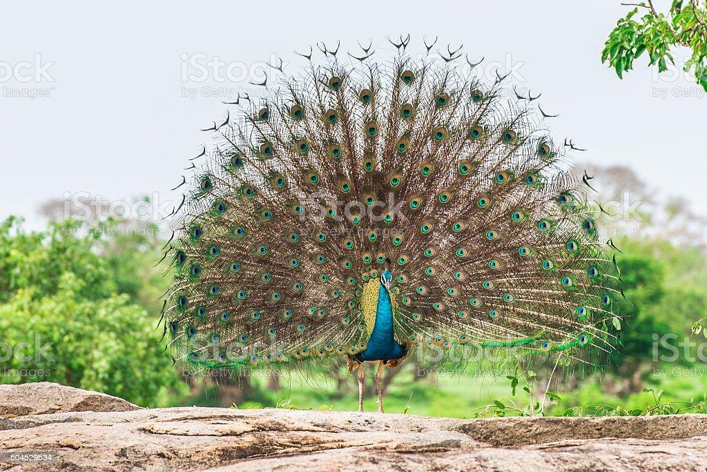 Peacock in natural habitat stock photo