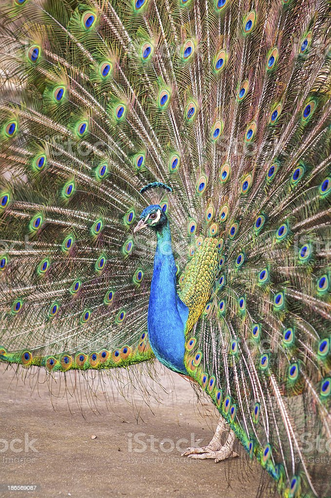 Peacock, left profile royalty-free stock photo