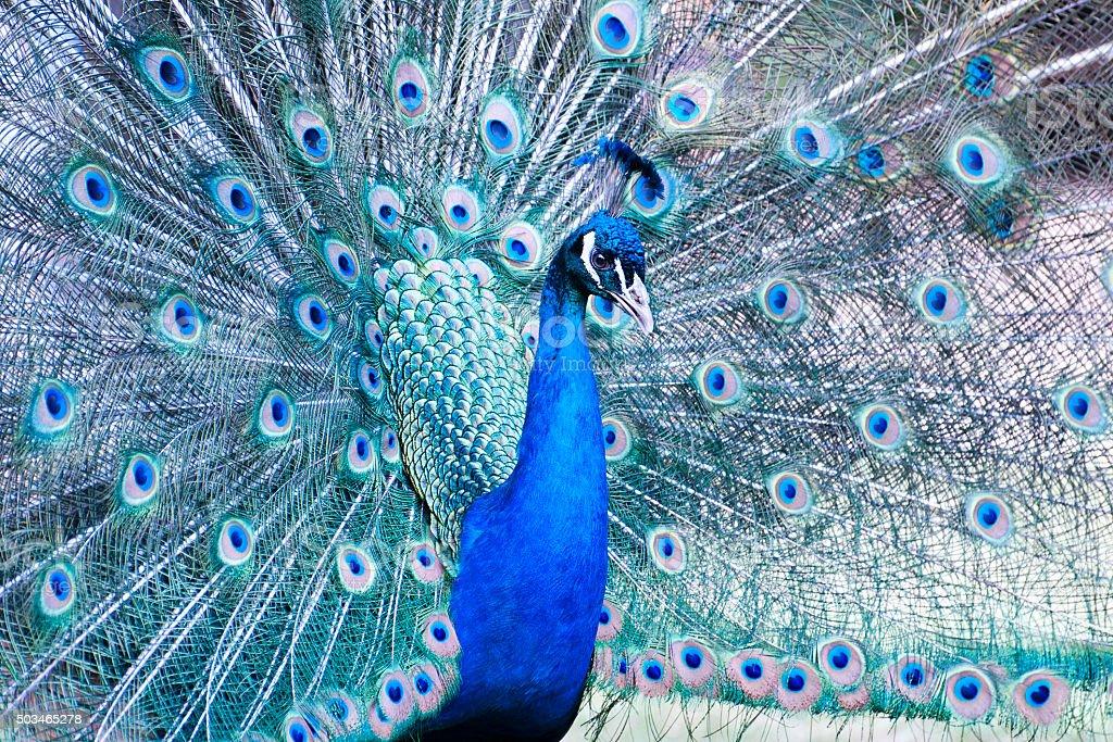 Peacock male - Pavo cristatus stock photo