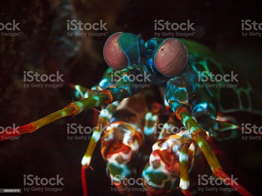 Peacock mantis shrimp, Bunter Fangschreckenkrebs (Odontodactylus scyllarus) stock photo