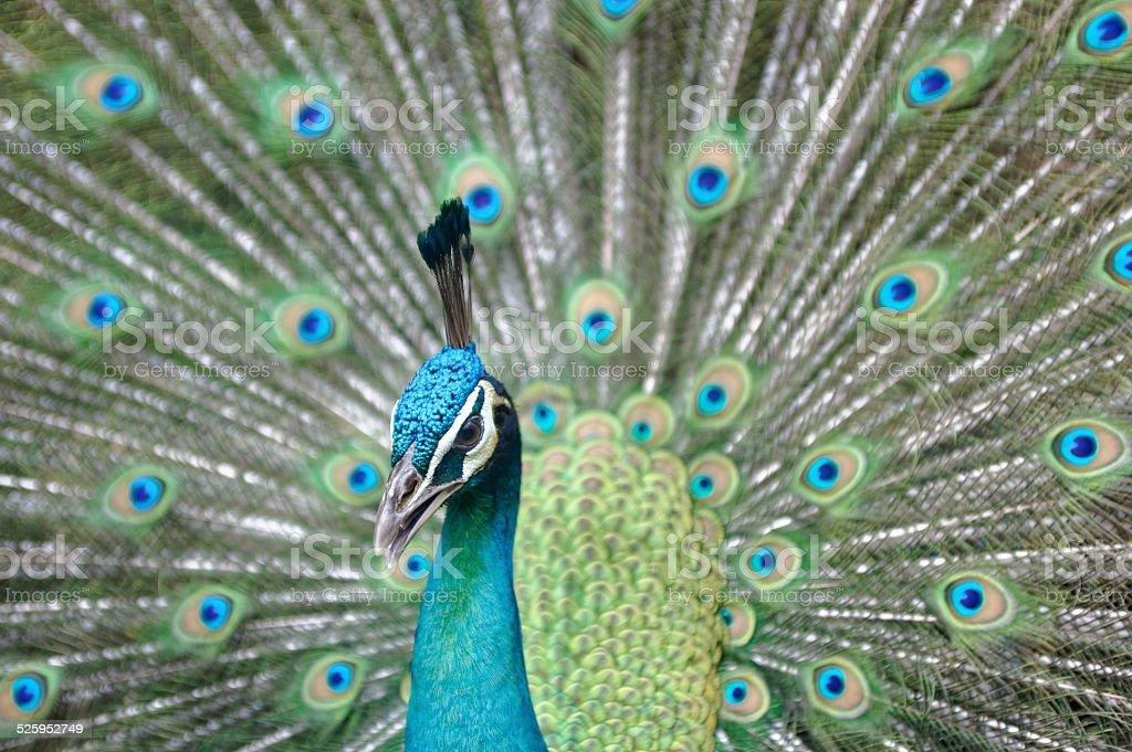 Peacock On Display stock photo