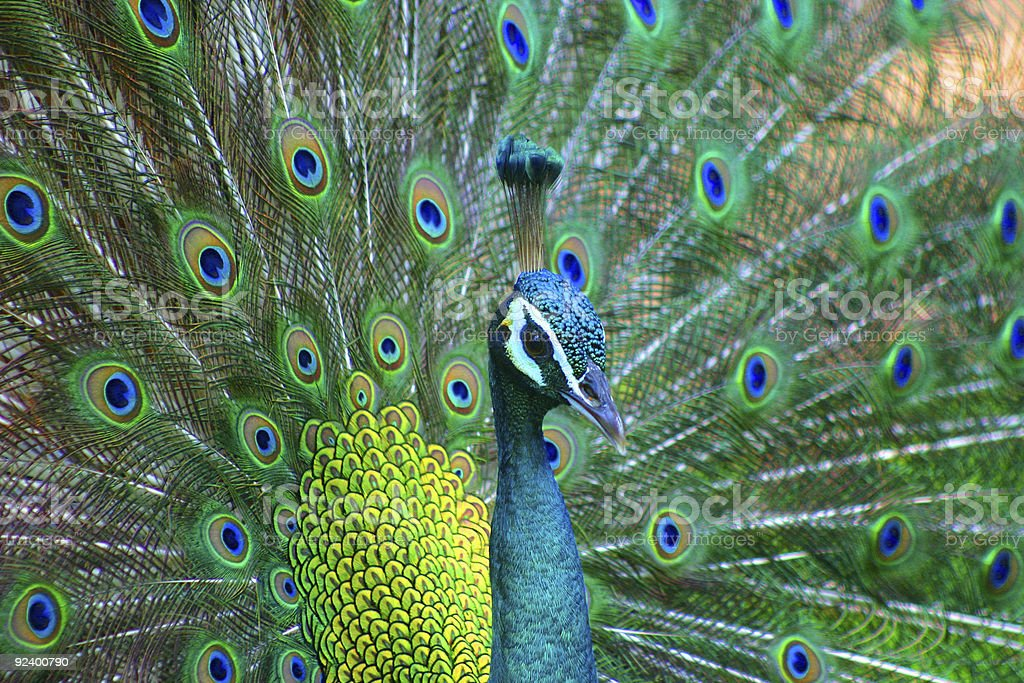 peacock stock photo