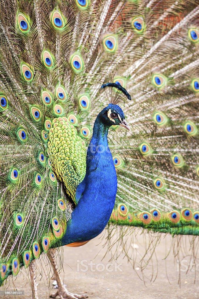 Peacock, profile royalty-free stock photo