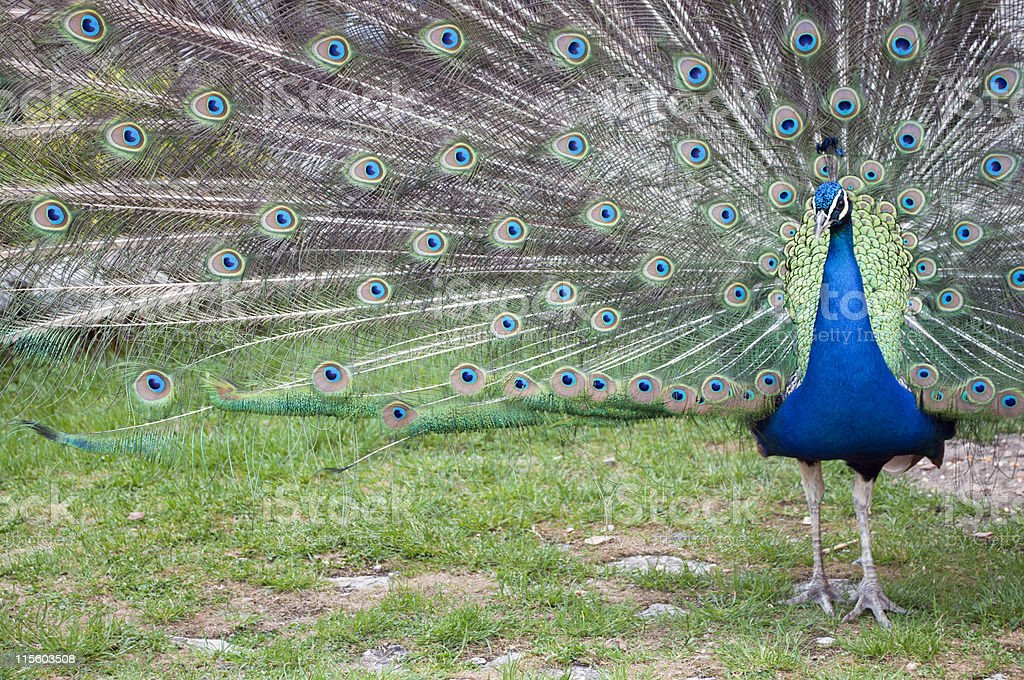 """Peacock """"on the Right"""" royalty-free stock photo"""