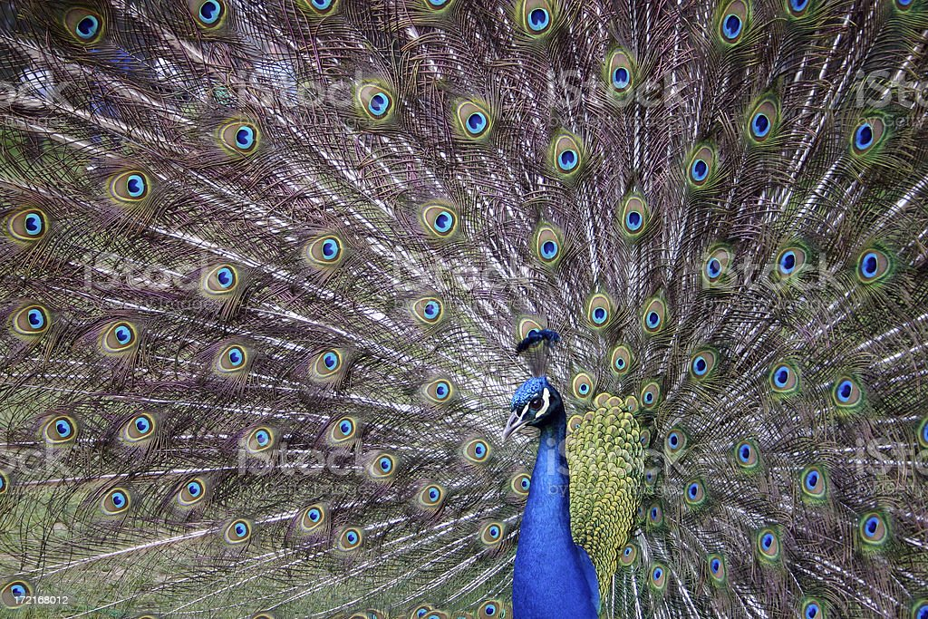 Peacock showing its full fan of tail feathers royalty-free stock photo