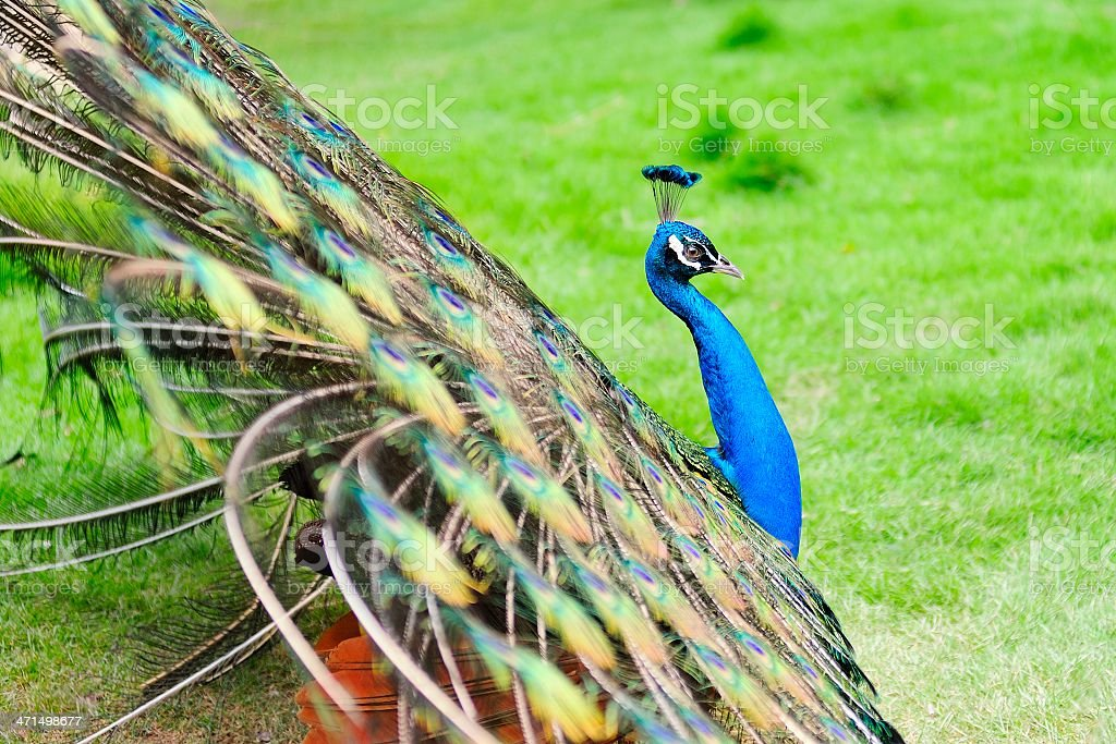 peacock shows its tail royalty-free stock photo