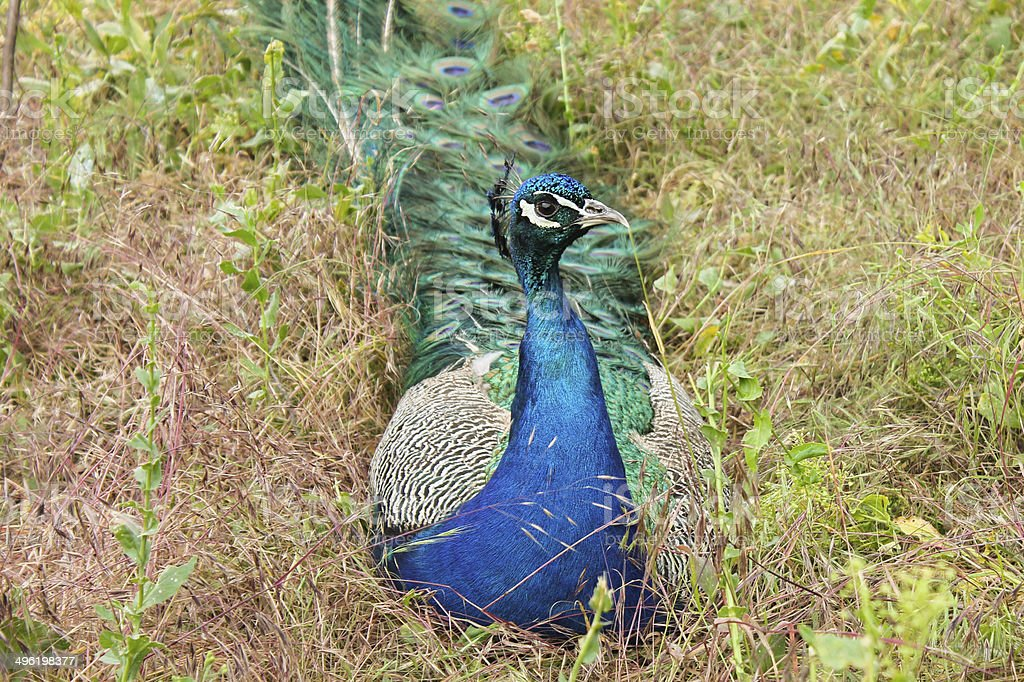 Peacock sitting on the grass stock photo