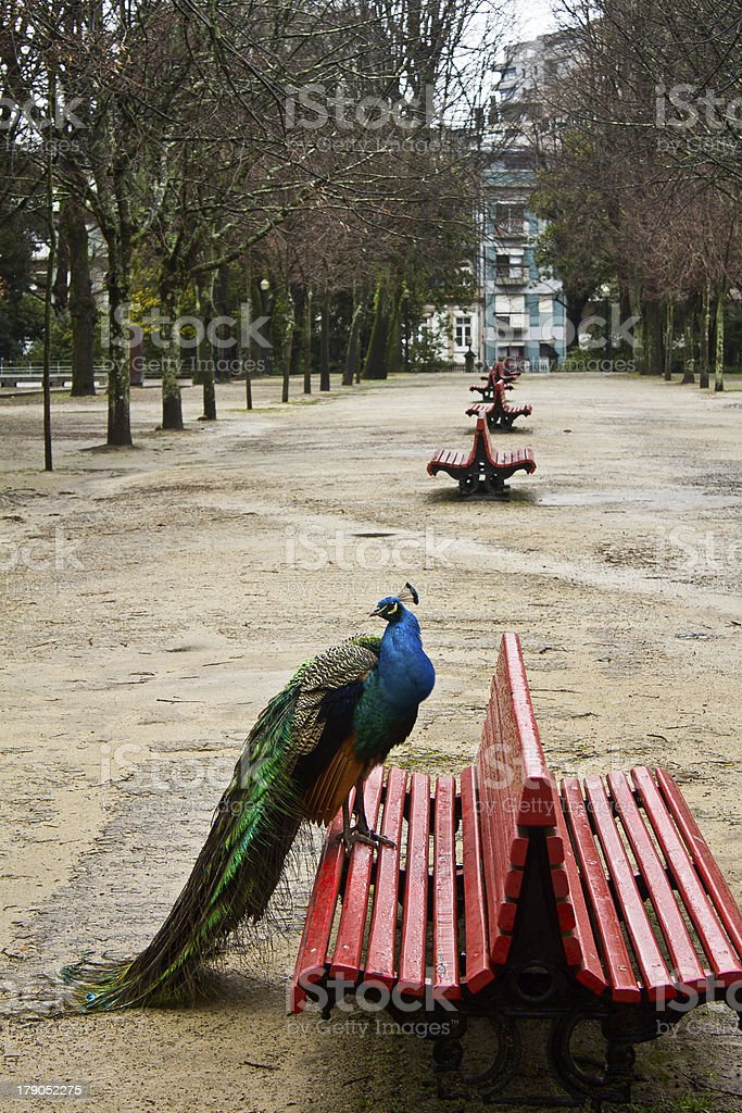 Peacock Solitude royalty-free stock photo