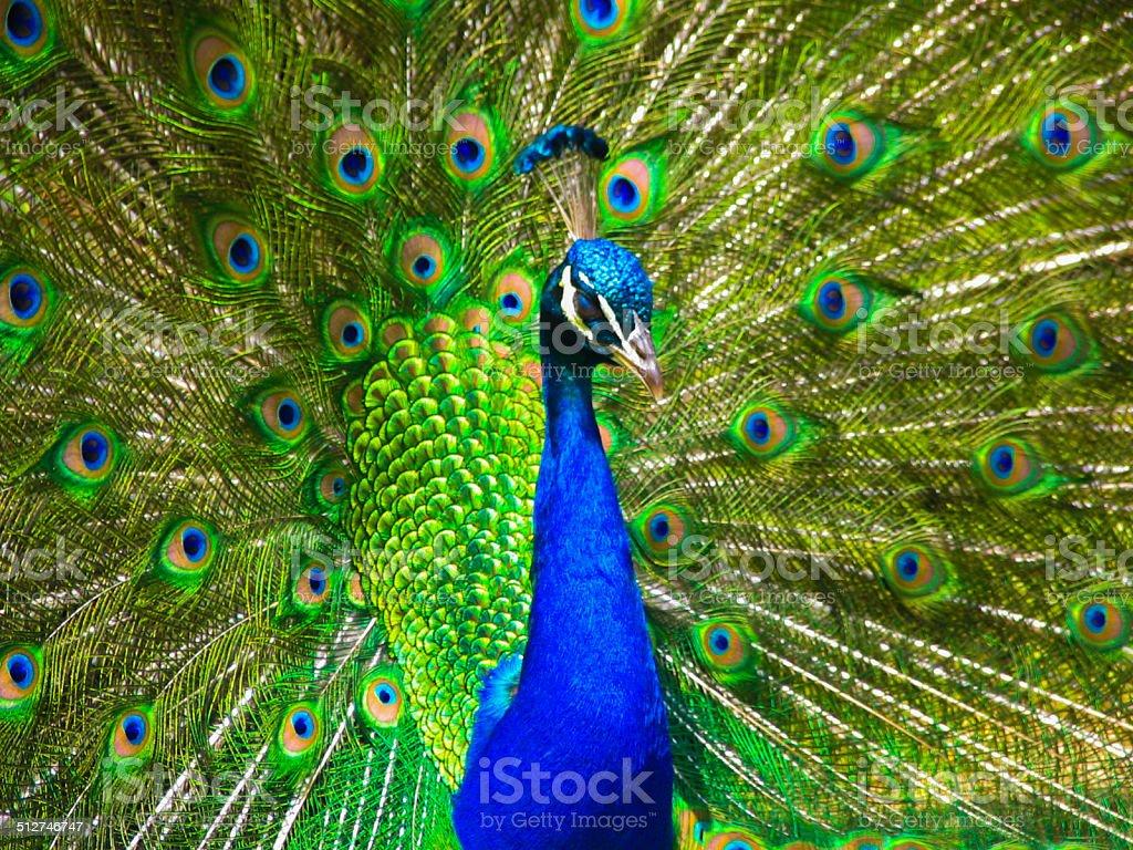 Primer plano de plumas de pavo propagación foto de stock libre de derechos