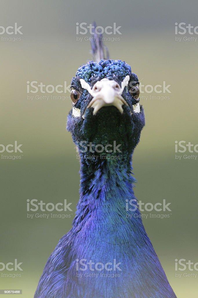 Peacock staring into camera royalty-free stock photo