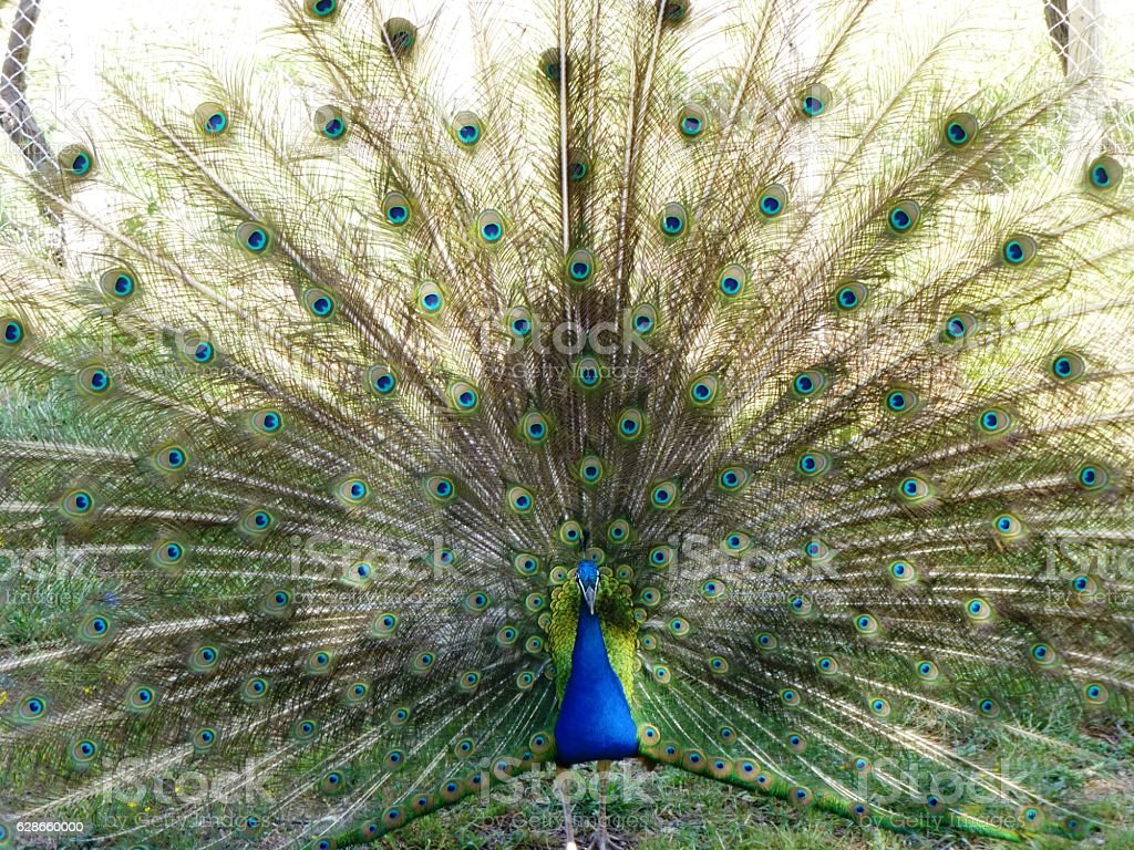 peacock tail stock photo