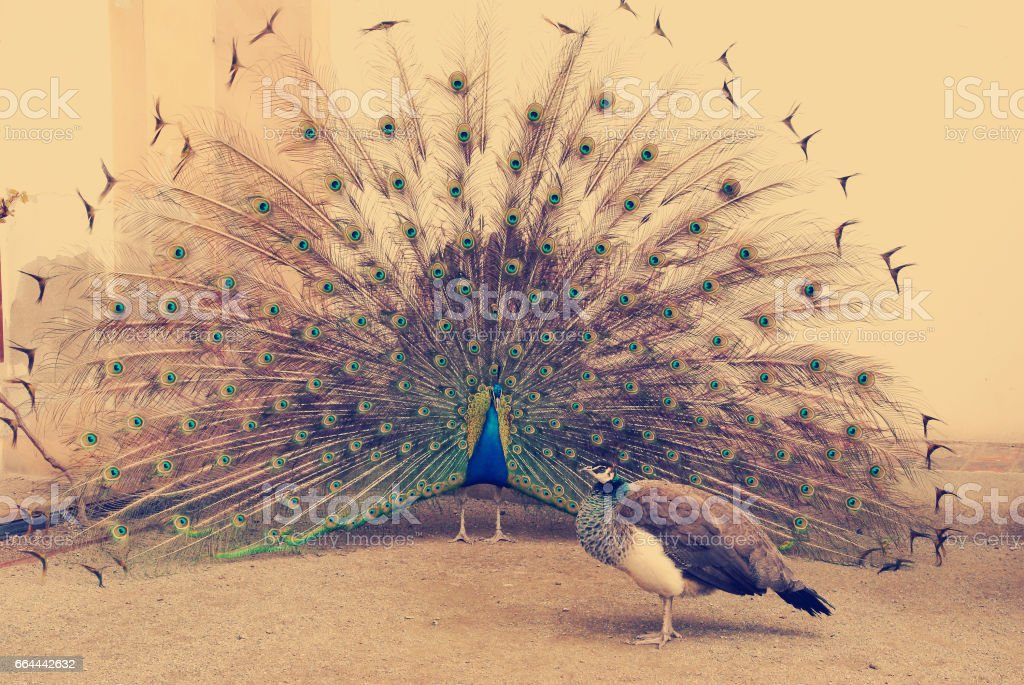 peacock tail spread tail-feathers stock photo