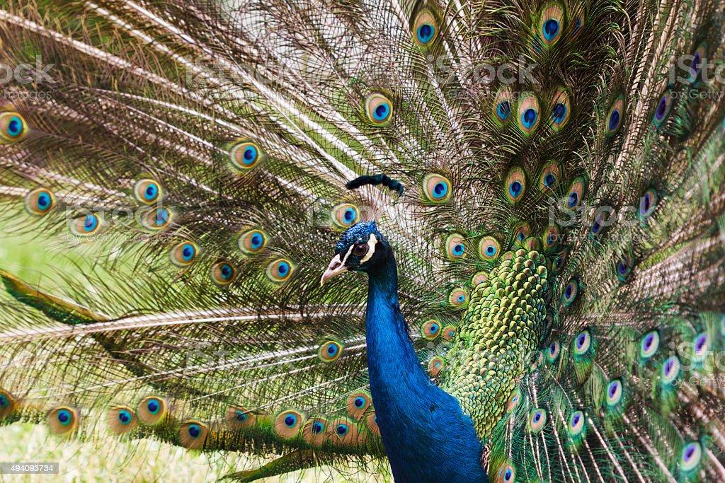 Peacock varicolored closeup stock photo