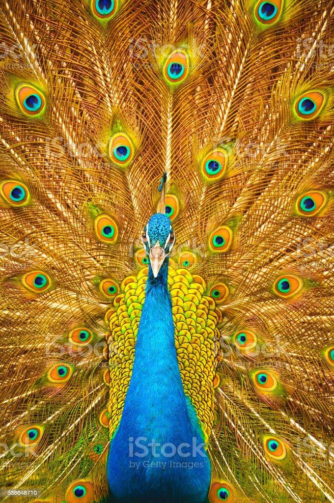 Peacock wings stock photo