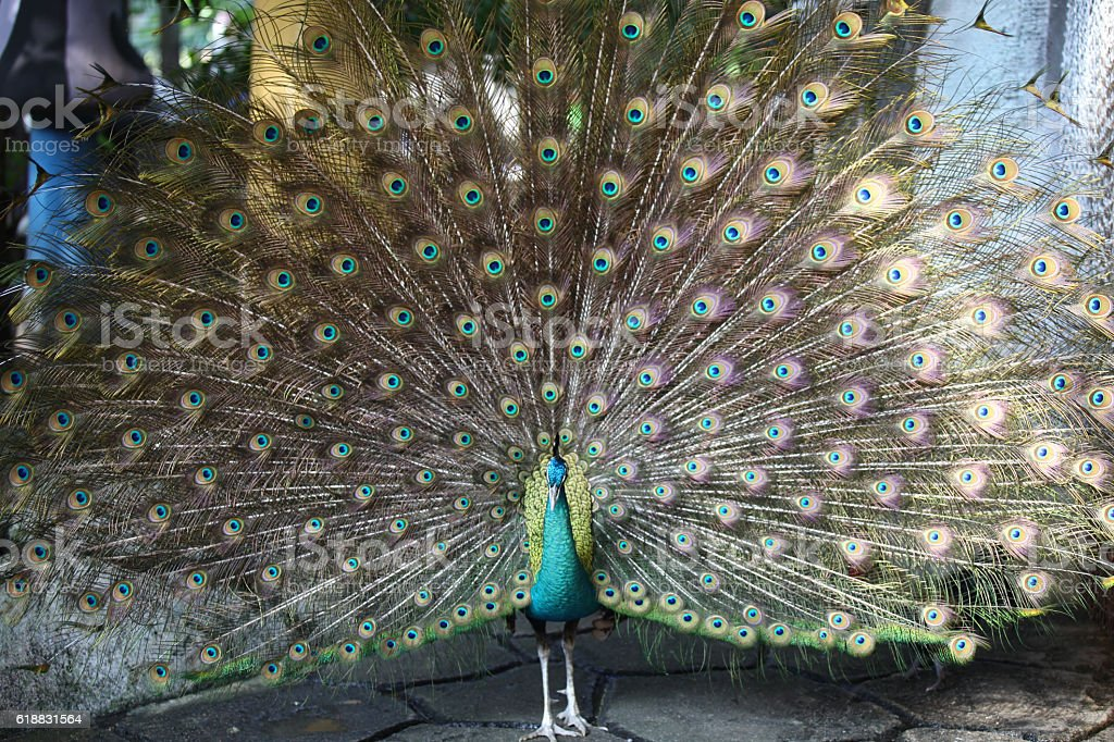 Peacock with a long neck and a luxurious plumage stock photo