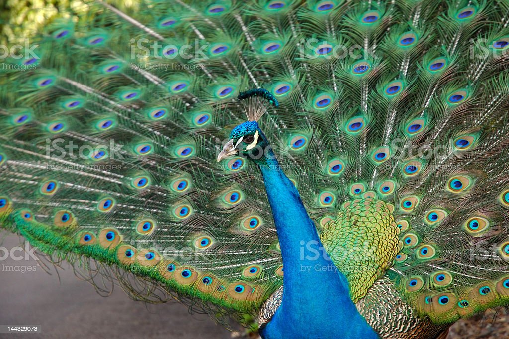 Peacock With Feather Pulled Up royalty-free stock photo