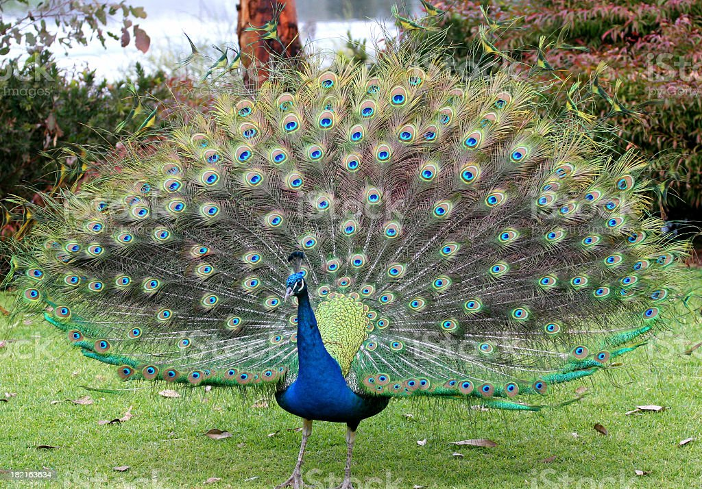 Peacock with feathers displayed stock photo