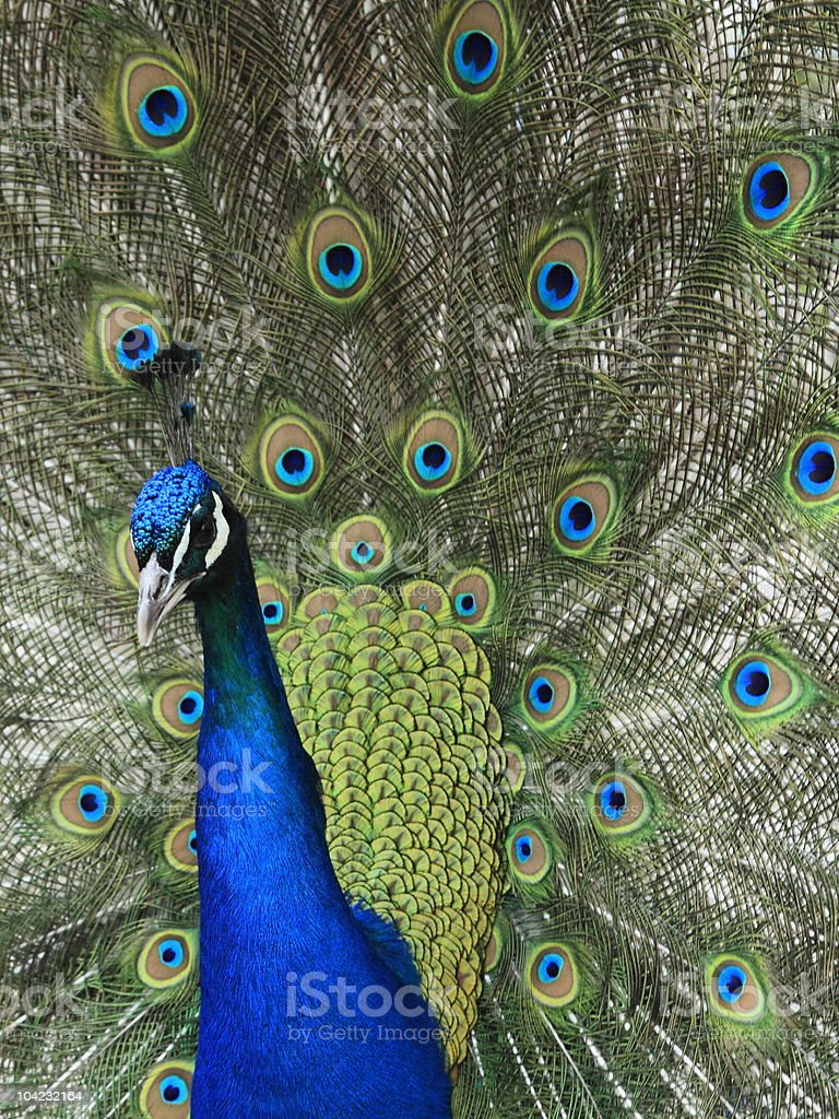 Peacock with Feathers Out stock photo