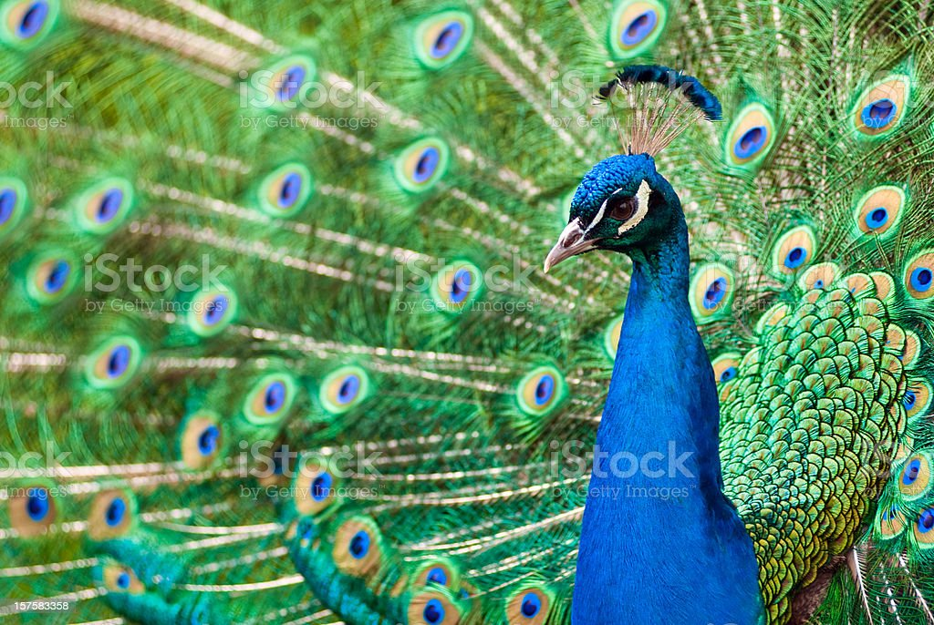 Peacock with feathers stock photo