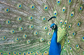 A peacock with his tail fully displayed