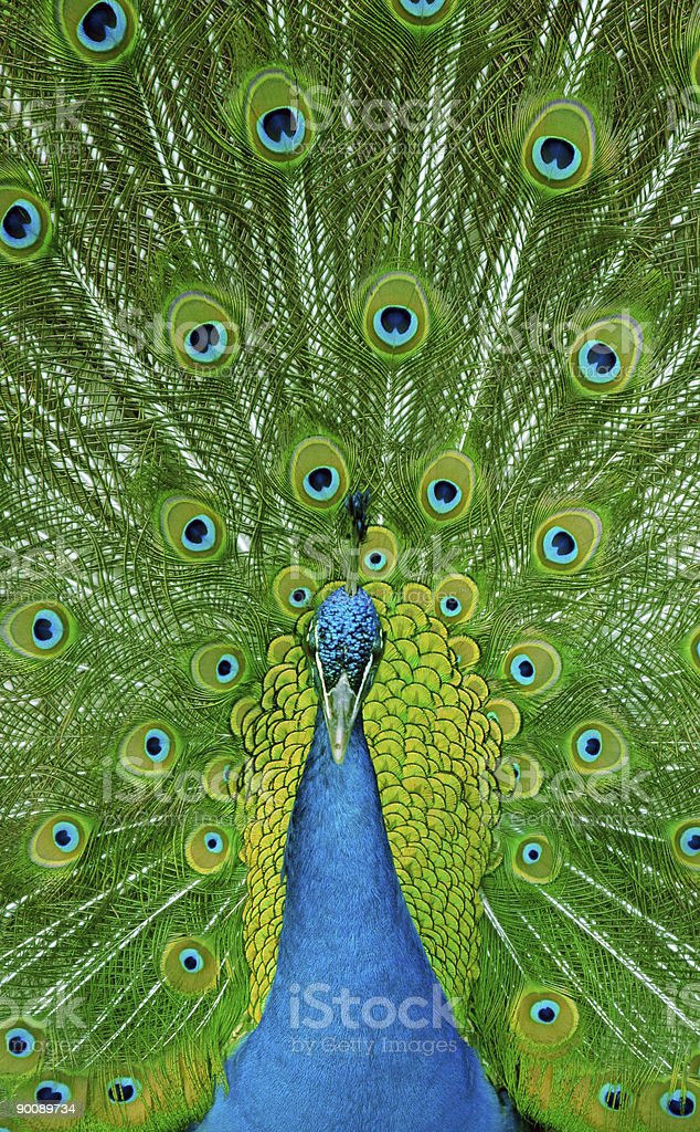 Peacock with its feathers extended stock photo