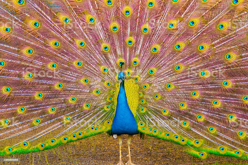 Peacock with its feathers unfurled stock photo