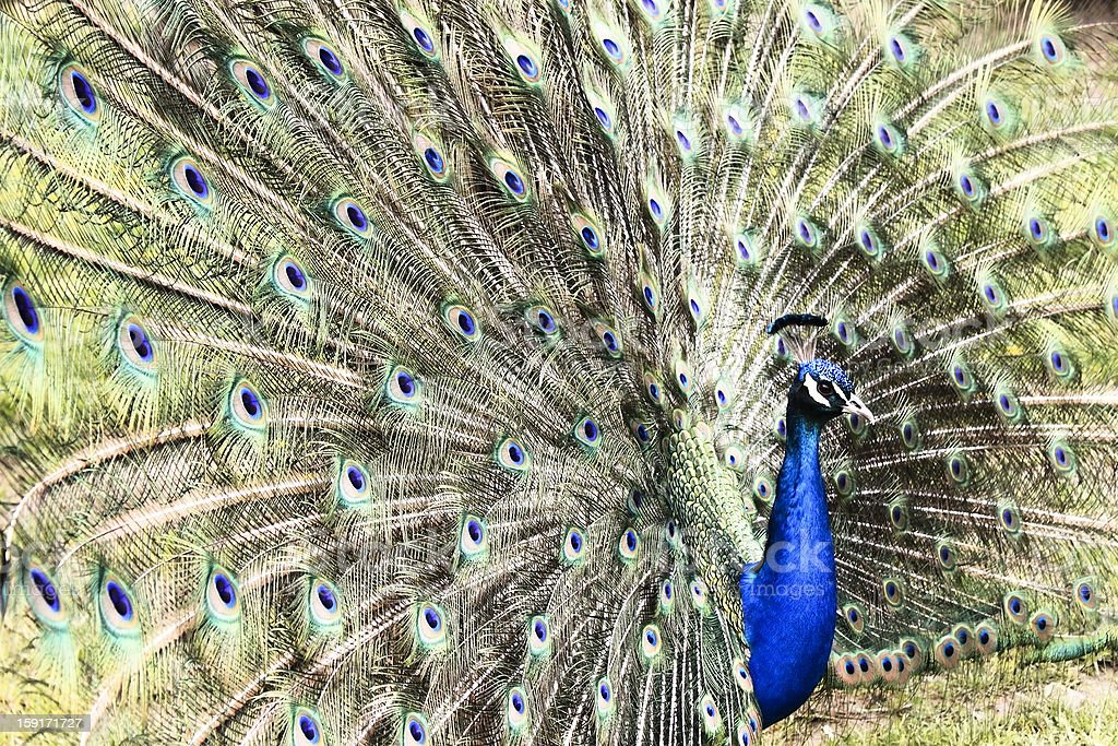 Peacock with open feathers royalty-free stock photo