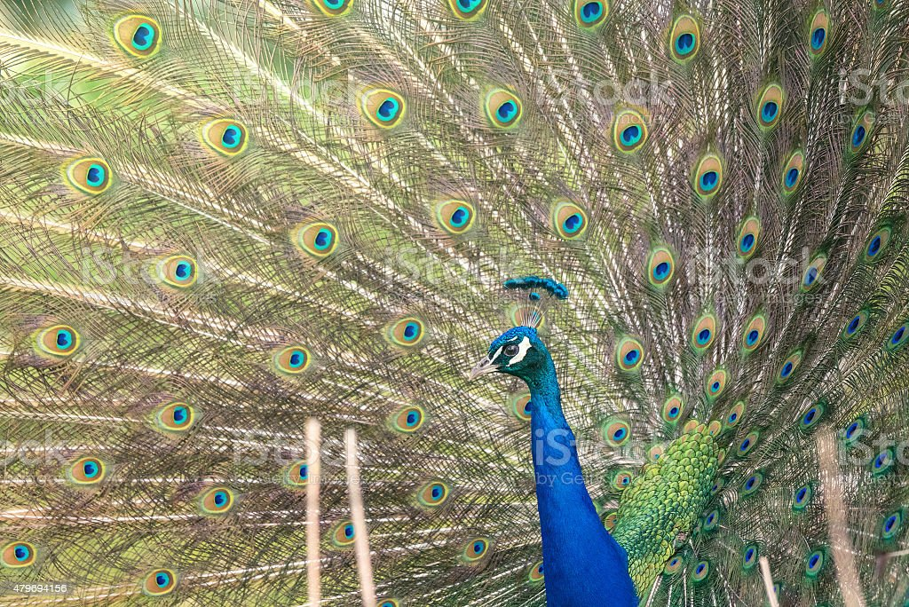 Peacock with open feathers stock photo