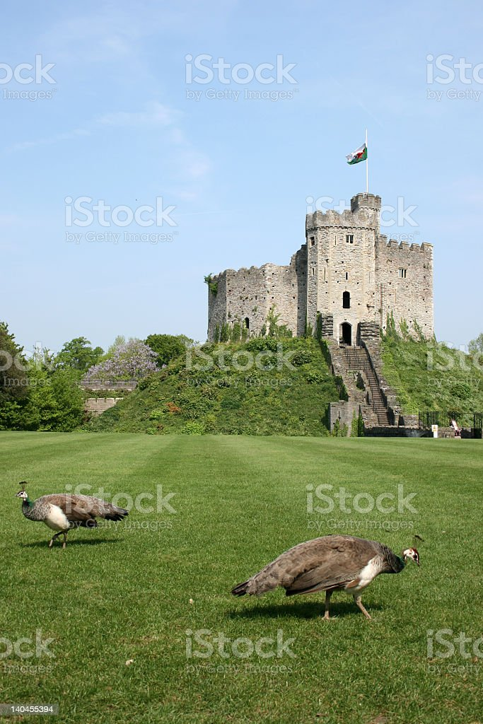 Peacocks and the Shell keep - Cardiff Castle stock photo