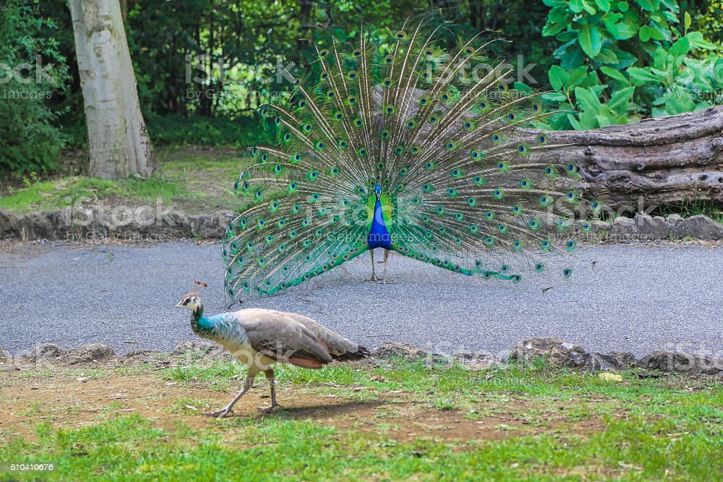 peacocks family in the park stock photo