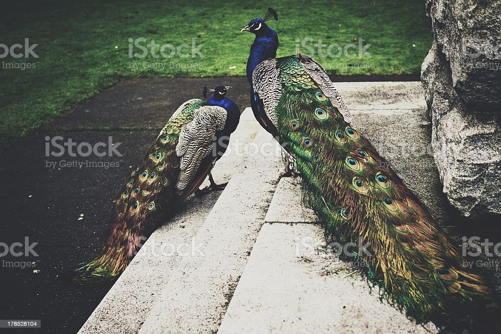 Peacocks in the Park royalty-free stock photo