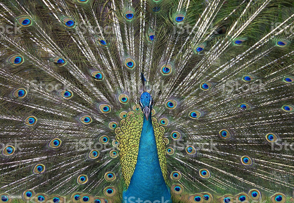 peacocks royalty-free stock photo
