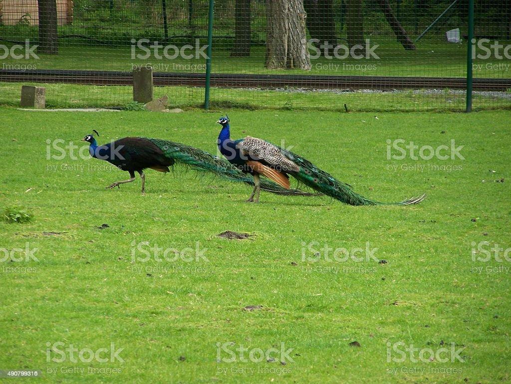 Peacocks stock photo